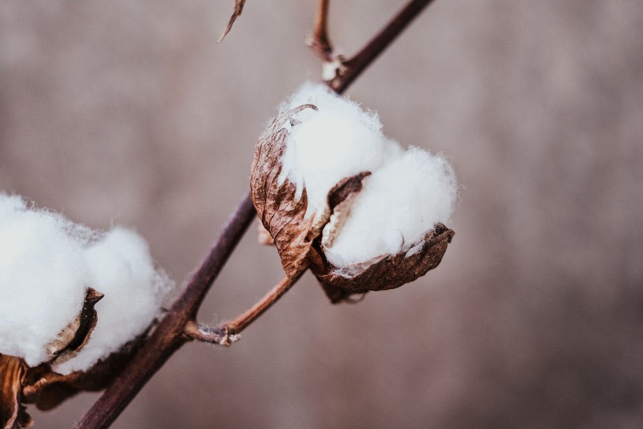 Cotton Farming Industry and the Big Impact of Covid-19 Today